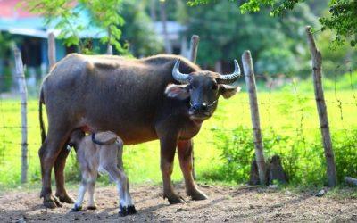 Buffalo Cheese: It's Not Just Mozarella